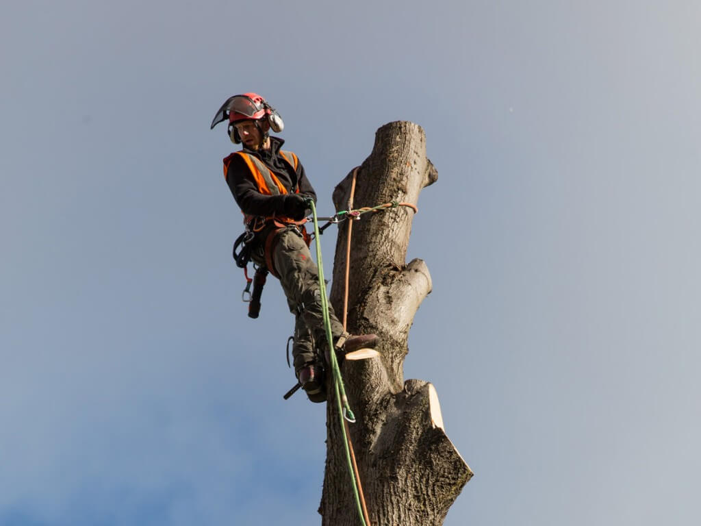 A tree surgeon atop a tree carrying our routine tree surgery