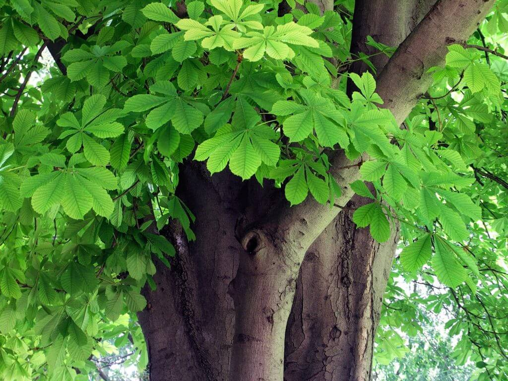 A photo of a horse chestnut tree with healthy green leaves showing no signs of disease