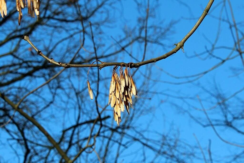 A photo of wilting leaves and potential dieback of an ash tree indication ash tree diseases