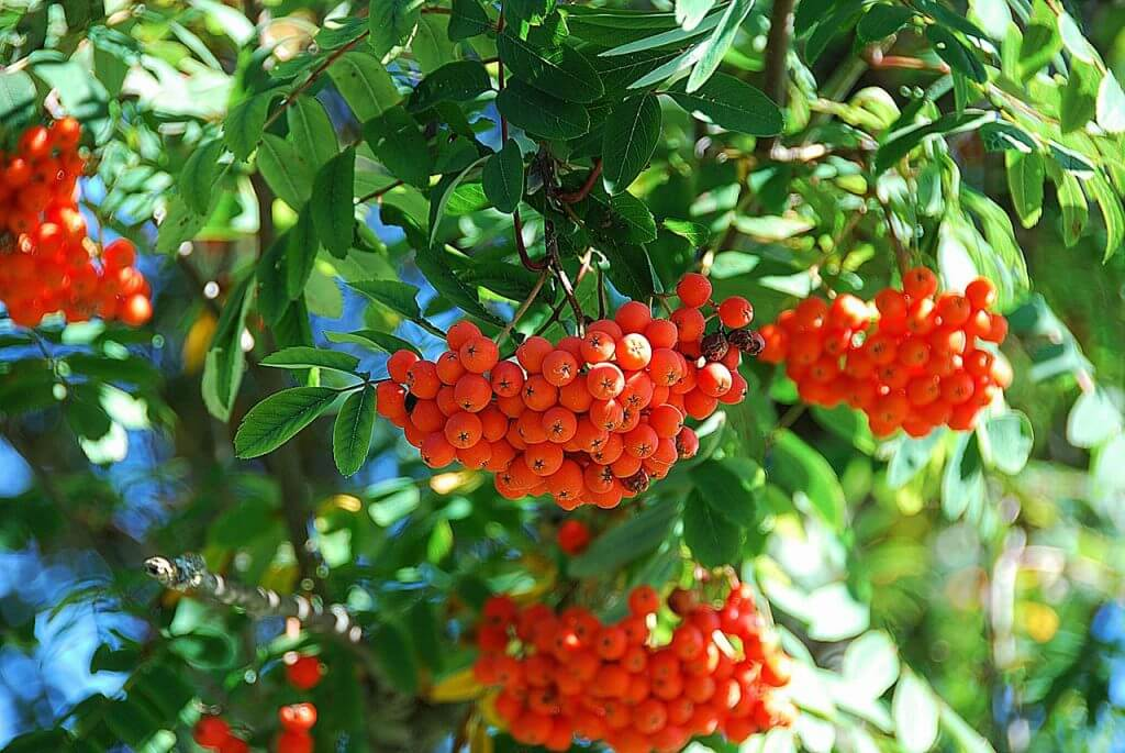 A close us picture of a rowan tree with its clusters of red berries