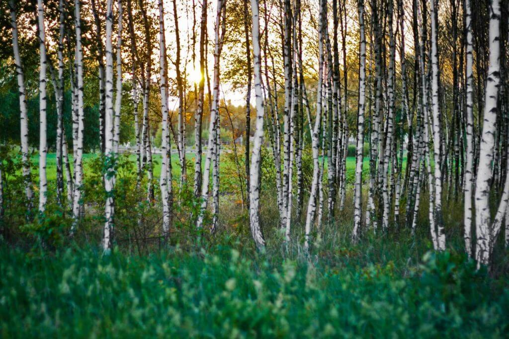 A photo of a forest of silver birch trees with thick foliage in the foreground and striking white trees in the background with a low sun setting behind them