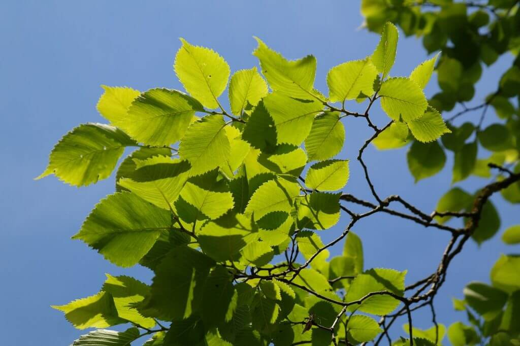 A close up photo of healthy green elm tree leaves