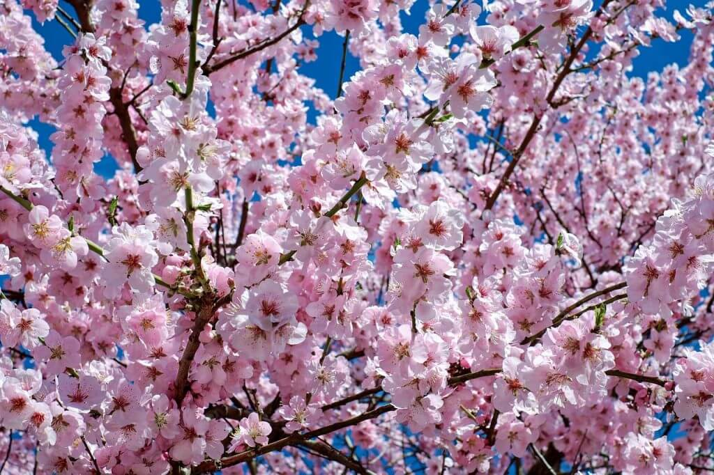 A photo of pink blossoms on a cherry tree