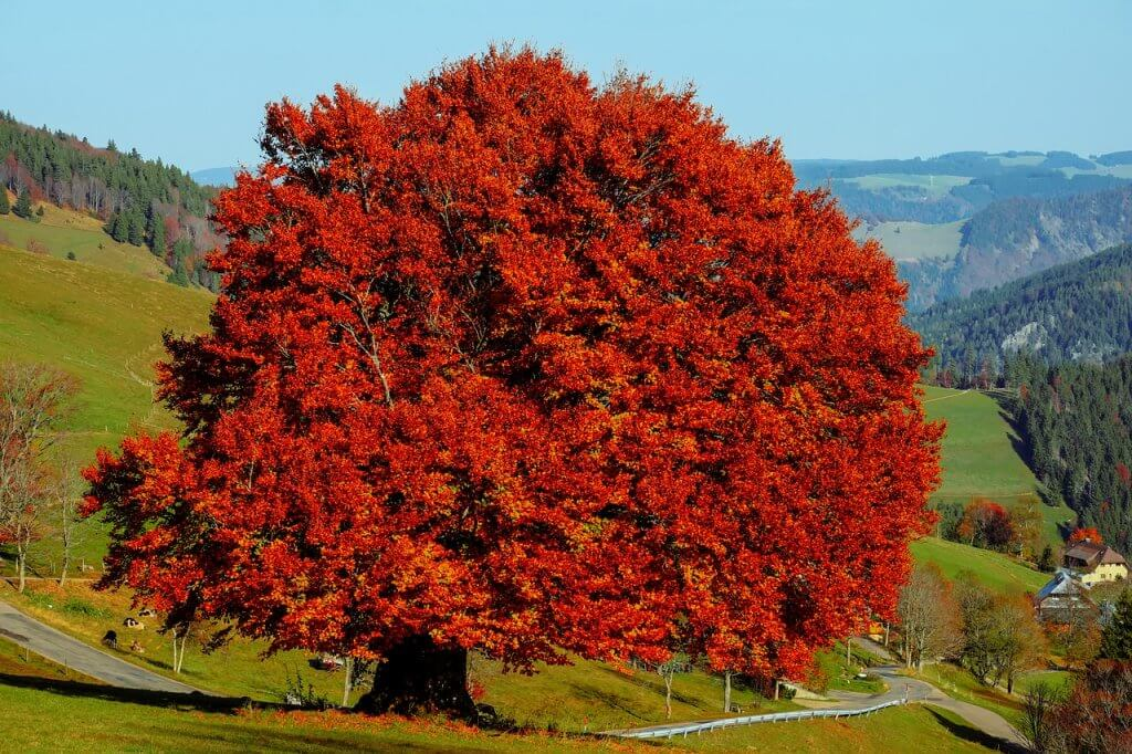 A photo of a beech tree with red autumn leaves