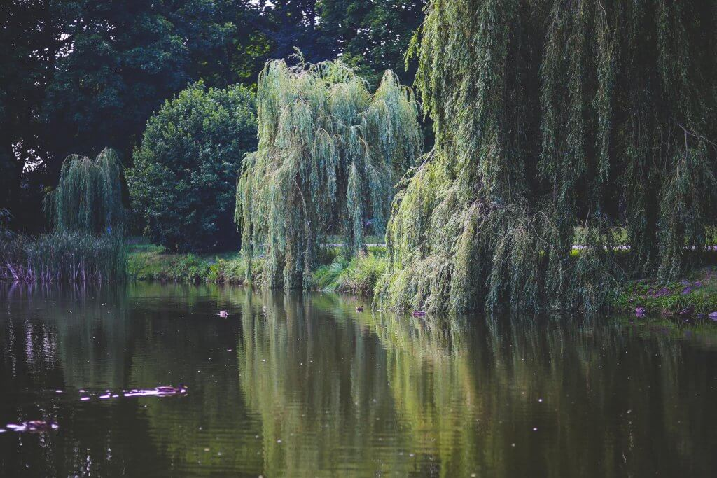 An image of several weeping willow trees by a lake.