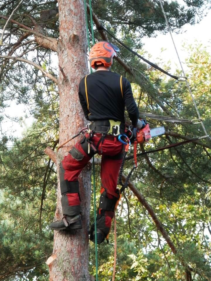 An image of a qualified tree surgeon climbing a tree, wearing safety gear.