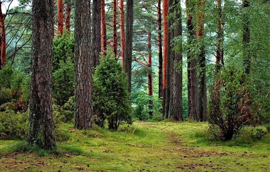 An image of several trees in a woodland.