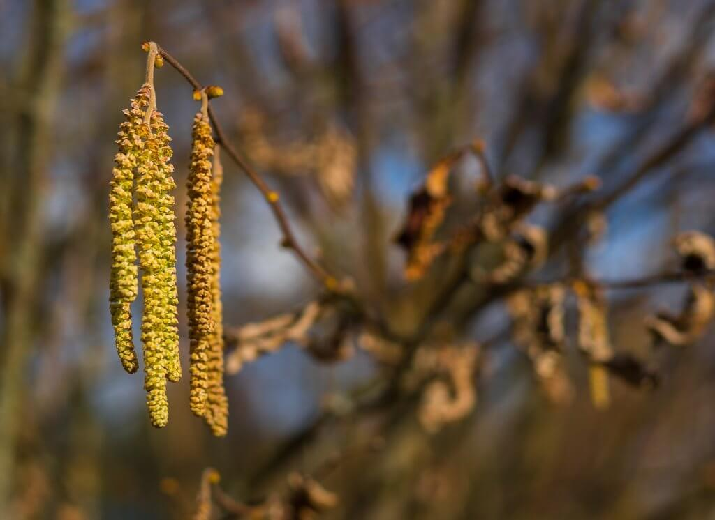An image of the fruits of an alder tree.