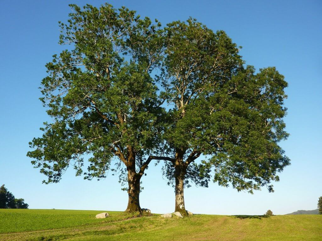 An image of two Ash trees.